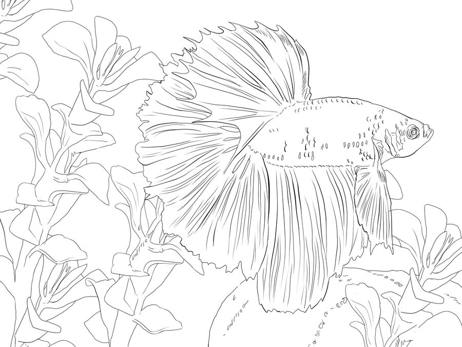 900x675 Coloring Pages Betta Fish, Printable For Kids Amp Adults, Free