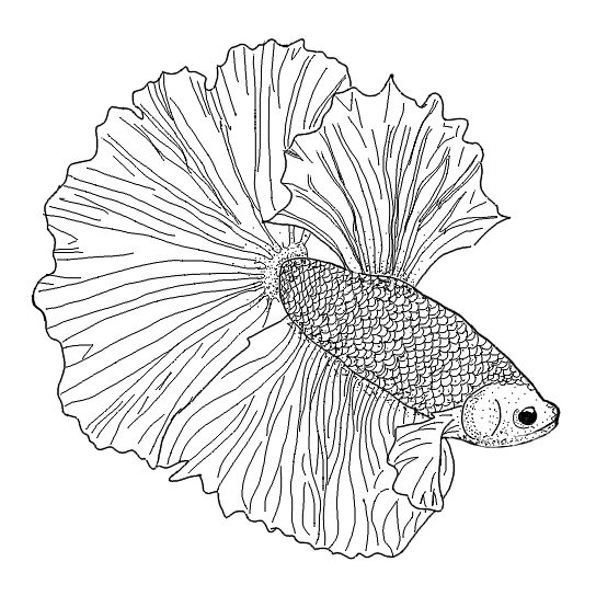 544x544 Elephant Ears Betta Fish Stickers By Rumerpriestly Redbubble