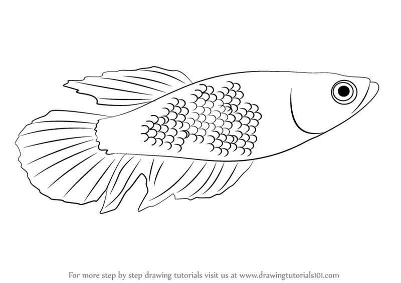 800x566 Learn How To Draw A Betta (Fishes) Step By Step Drawing Tutorials