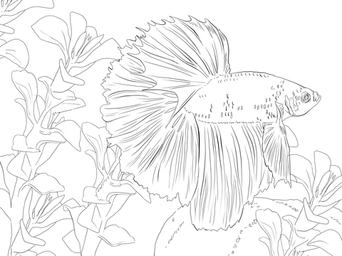 480x360 Betta Fish Coloring Page Free Printable Coloring Pages