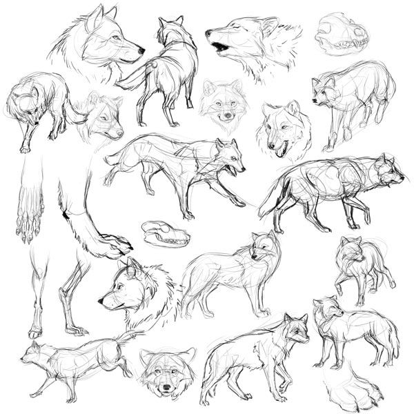 Big Wolf Drawing