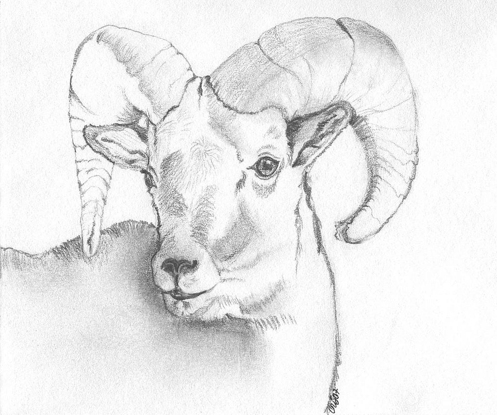 1024x855 Bighorn Sheep Ram Graphite Drawing Of Bighorn Sheep Ram. Peggy