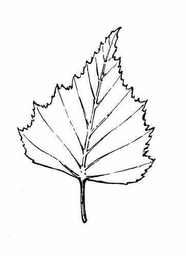 Birch Leaf Drawing