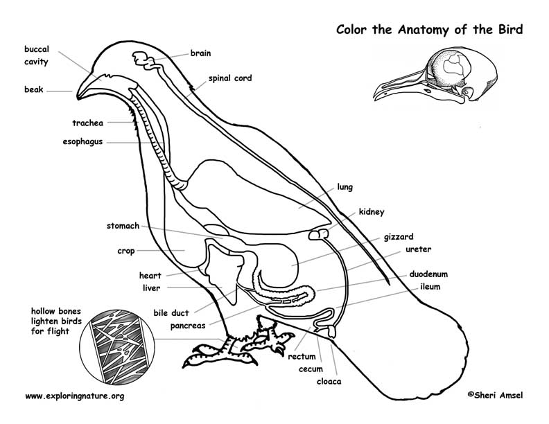 Avian Anatomy Diagram Labeled - Trusted Wiring Diagram •