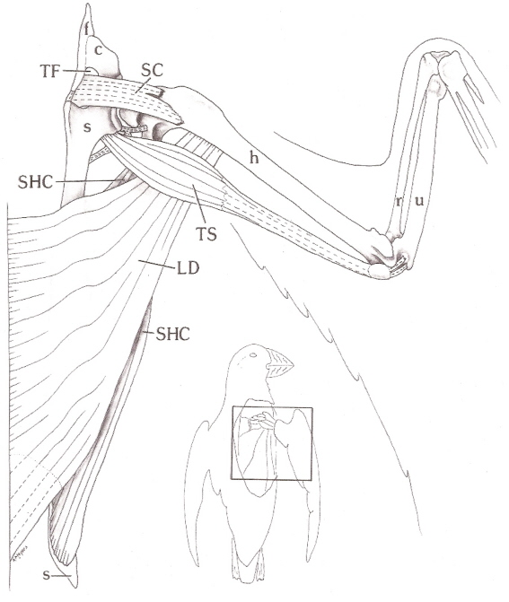 567x671 Bird Wing Muscle Anatomy Right Wing Of An Atlantic Anatomy