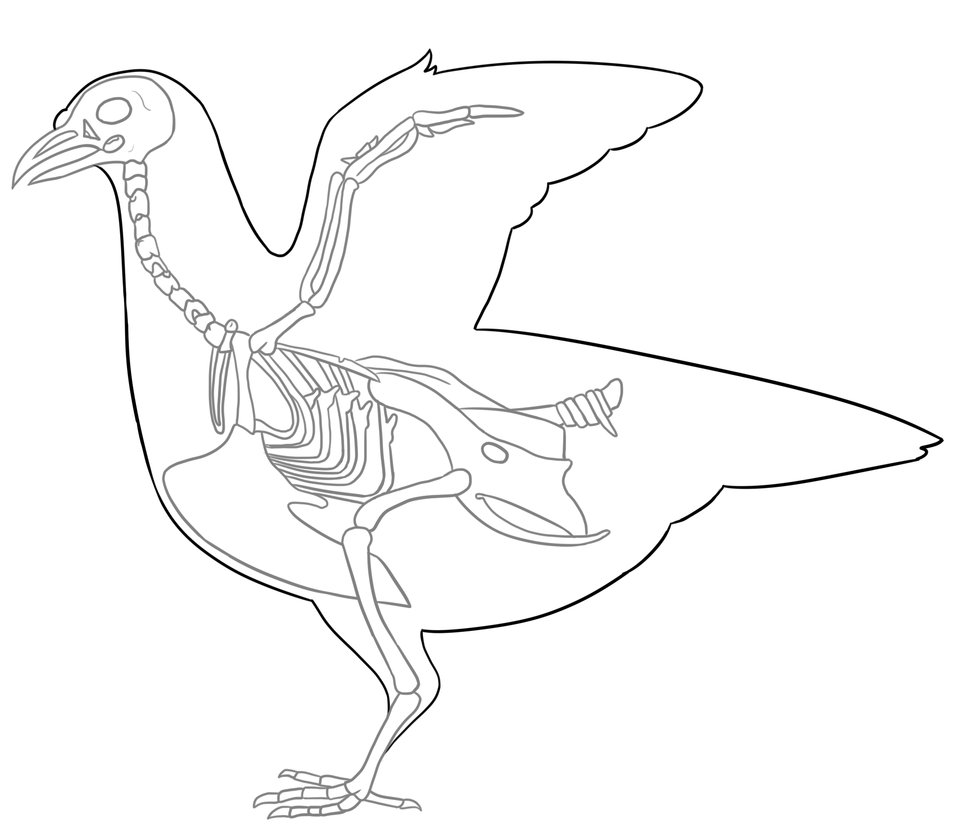 Bird Anatomy Drawing At Getdrawings Free For Personal Use Bird