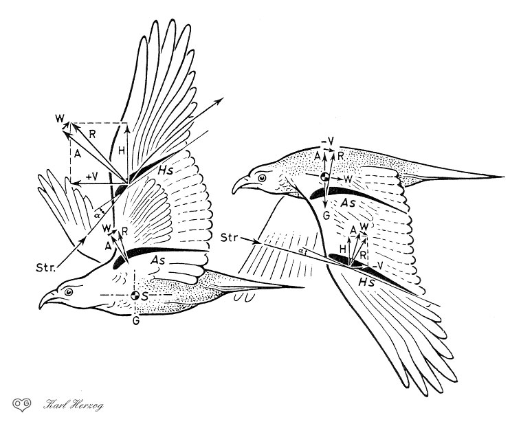 758x617 Eagle Wing Anatomy