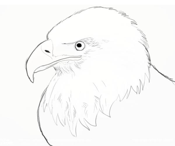 600x500 Bald Eagle Drawings