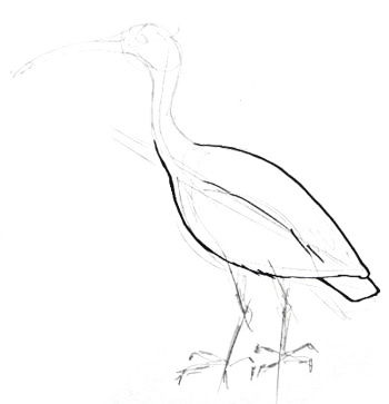 350x363 How to draw an Ibis Bird