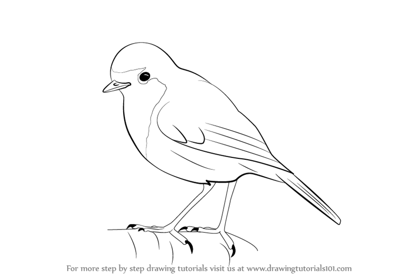 800x566 Learn How to Draw a Robin (Birds) Step by Step Drawing Tutorials