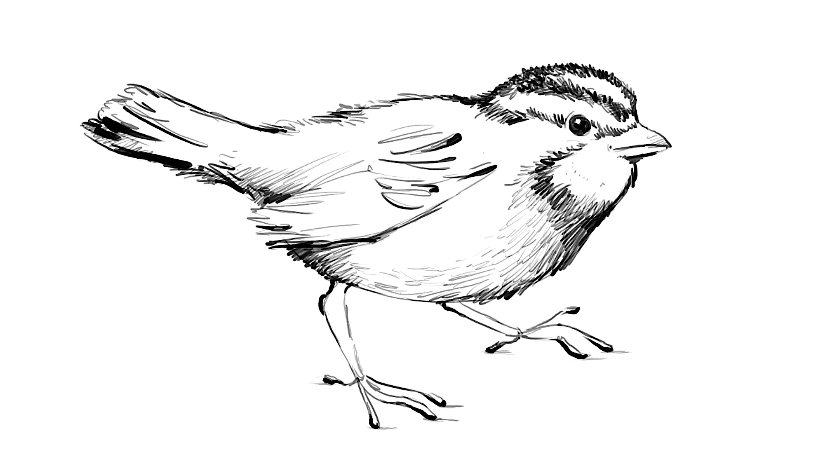 2634x1438 Sparrow Bird Drawing