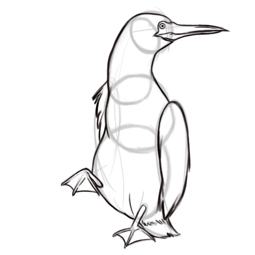 500x500 How To Draw A Blue Footed Booby 6 Steps (With Pictures)