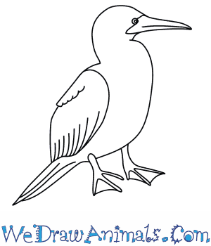 300x350 How To Draw A Blue Footed Booby