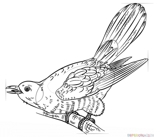 645x575 How To Draw A Cuckoo Step By Step Drawing Tutorials