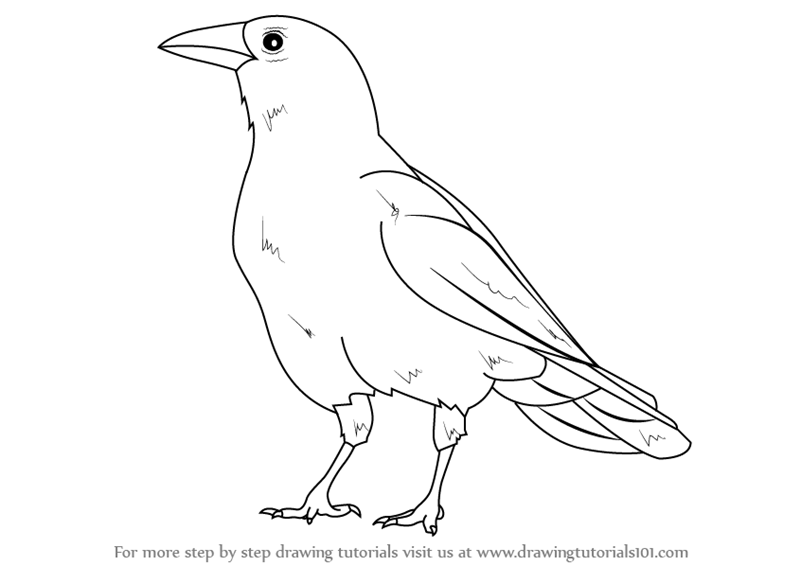 800x566 Learn How To Draw An American Crow (Birds) Step By Step Drawing