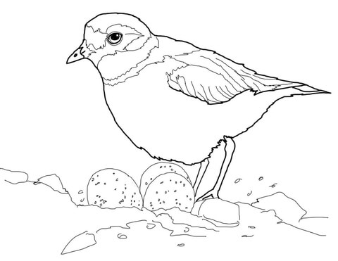 480x371 Piping Plover With Eggs In Nest Coloring Page Free Printable