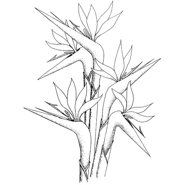 Bird of paradise drawing at getdrawings free for personal use 600x600 bird of paridise coloring mightylinksfo