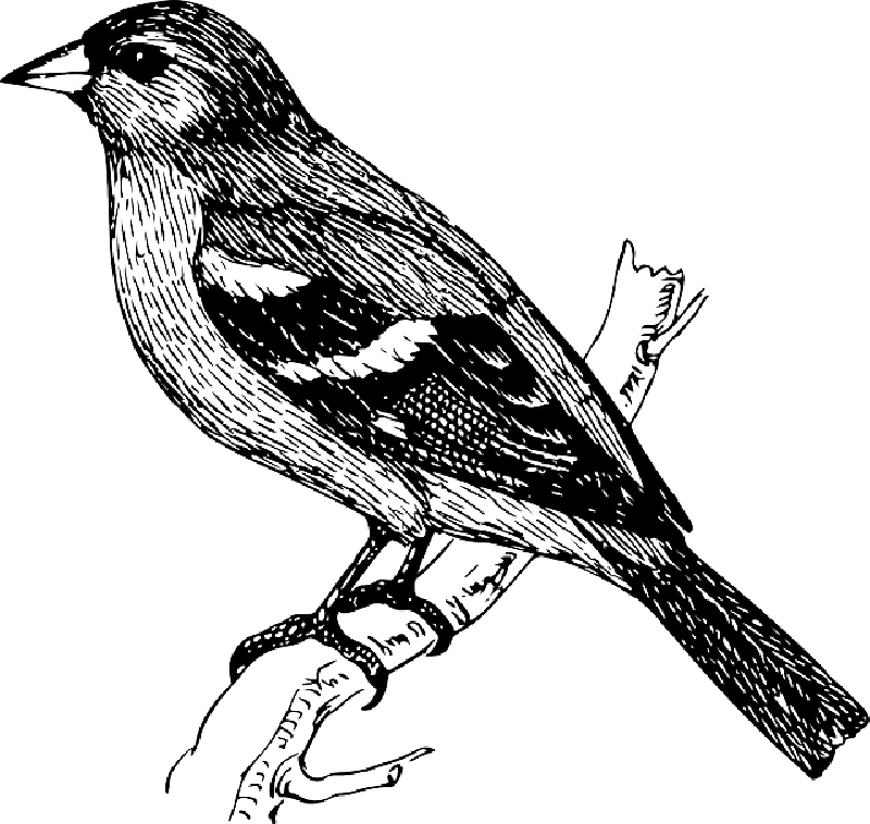 800x758 Drawing, Bird, Branch, Wings, Tail, Feathers, Chaffinch