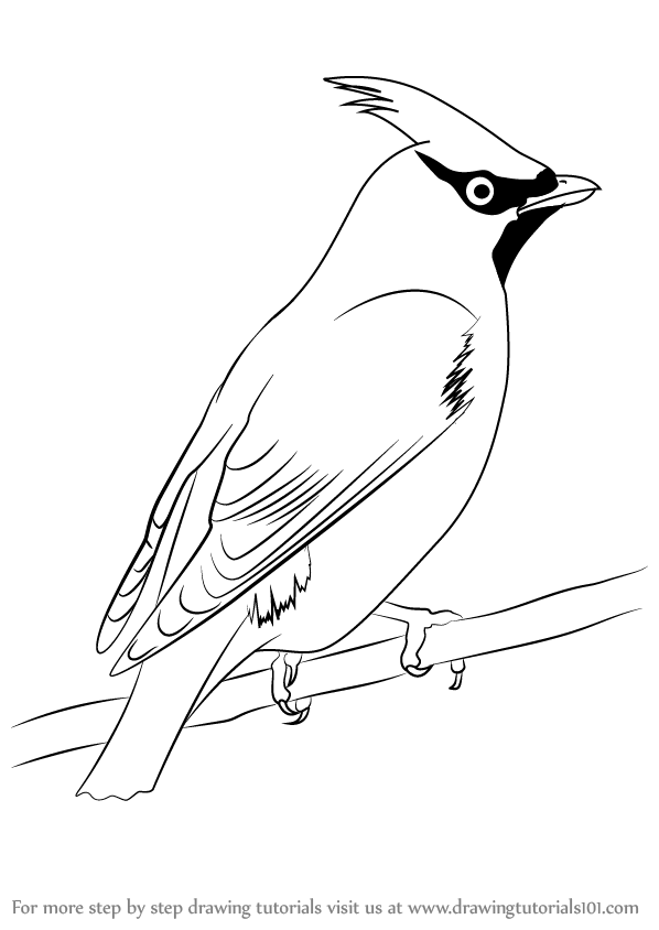 598x844 Learn How To Draw Bohemian Waxwing (Birds) Step By Step Drawing