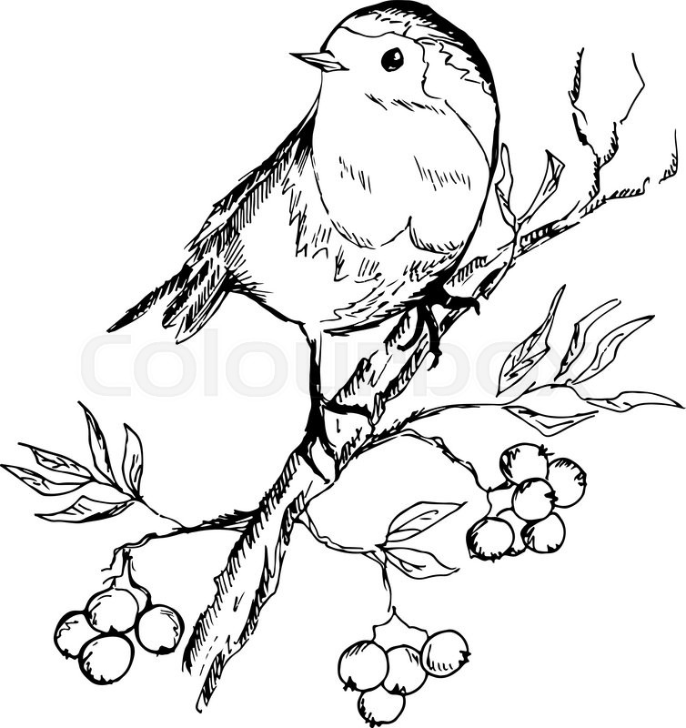 754x800 Sketch Of Bird Sitting On A Branch With Berries. Vector