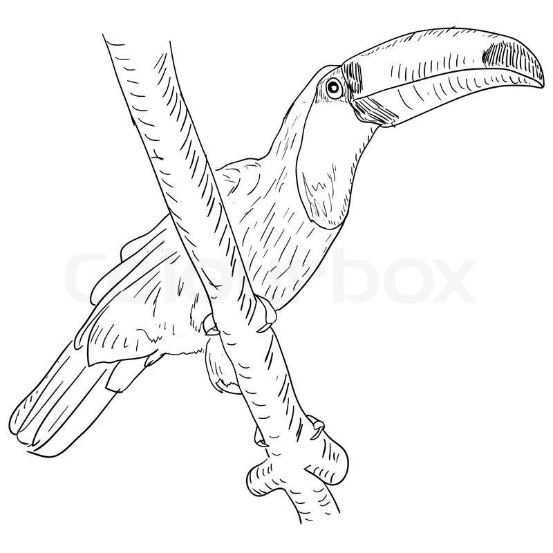 800x800 Toucan Bird Sitting On A Tree Branch Stock Vector Colourbox