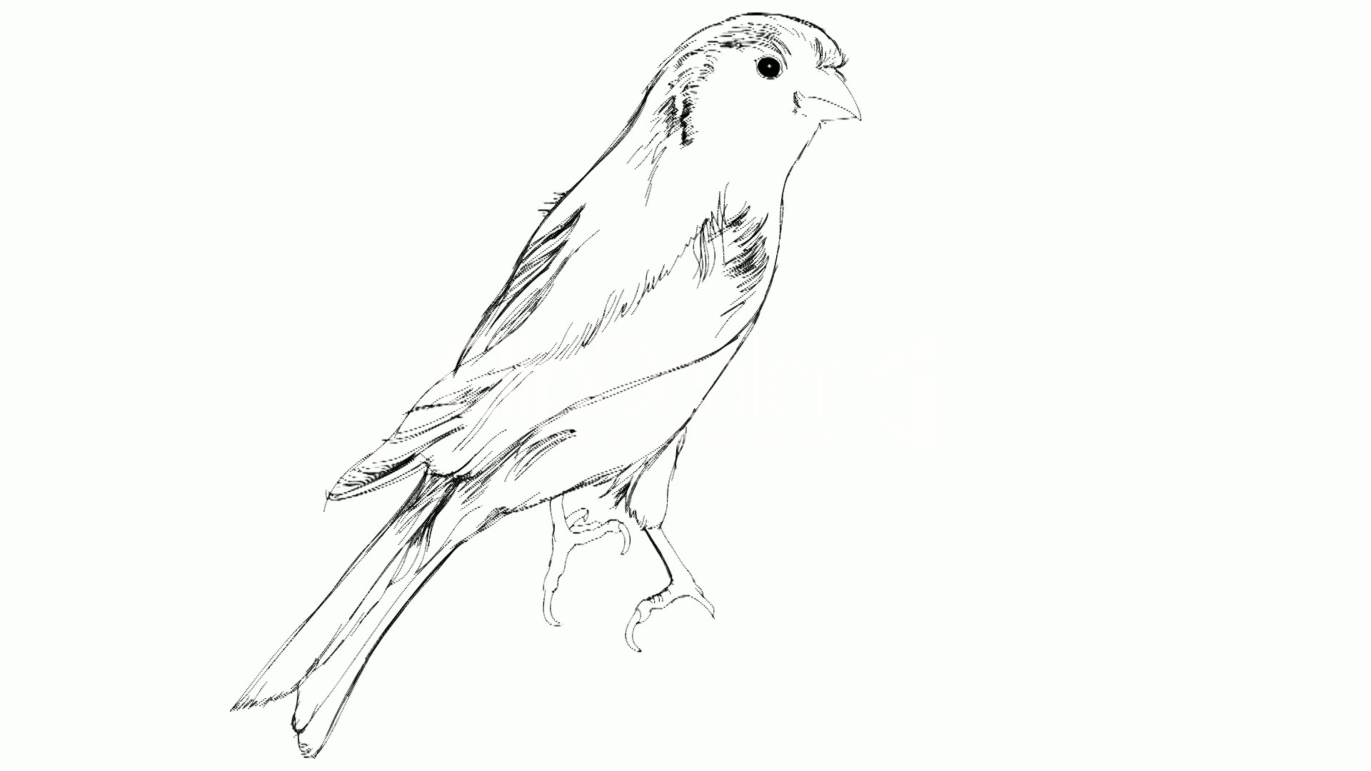 1920x1080 Sketch Of A Canary Bird Sitting On A Branch Royalty Free Video