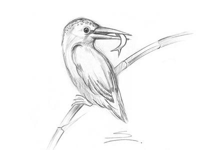 400x300 Kingfisher Sketch!! By Snehal