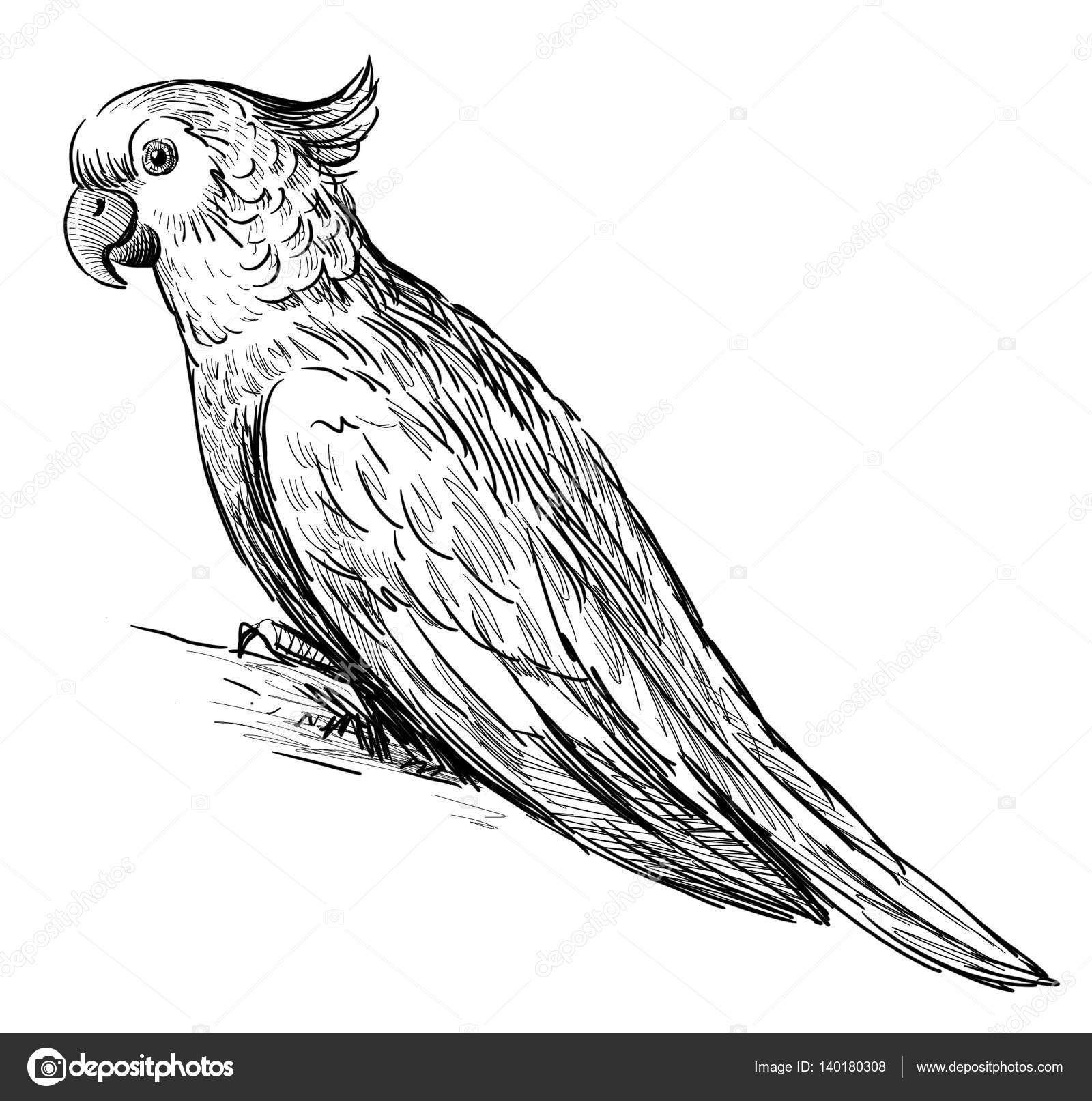 1600x1613 Pencil Painting Of Parrot Birds Simple Pencil Drawing