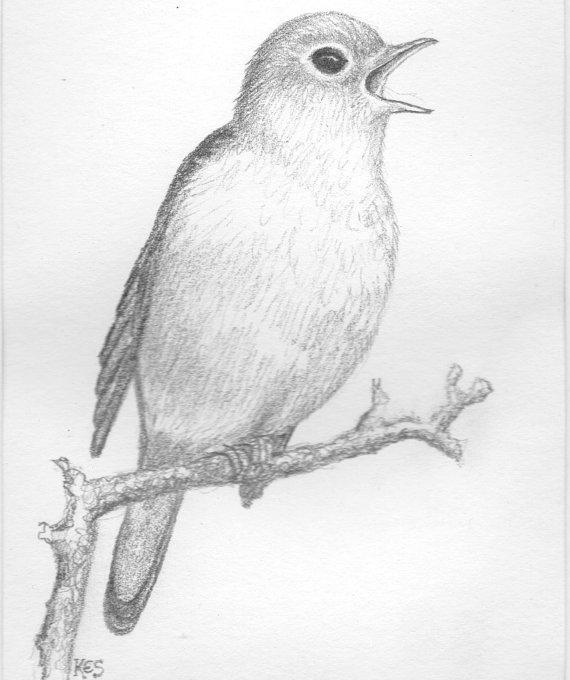 570x680 Pencil Drawing Of Nightingale Bird. Original Art
