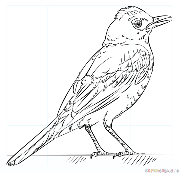 595x575 How To Draw A Robin Bird Step By Step Drawing Tutorials