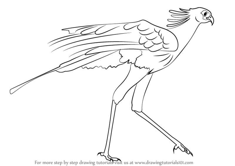800x566 Learn How To Draw A Secretary Bird (Bird Of Prey) Step By Step
