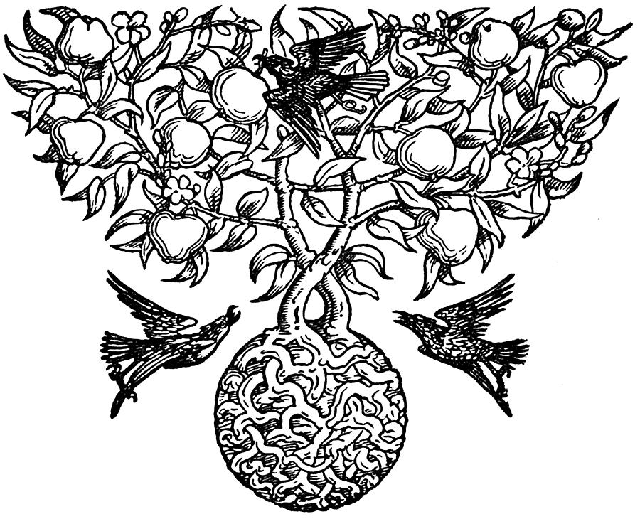 900x730 Birds And Fruit Tree Engraving Drawing By