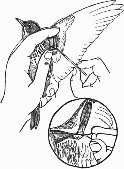 480x652 Holding A Bird For Collecting Blood From Brachial Vein.