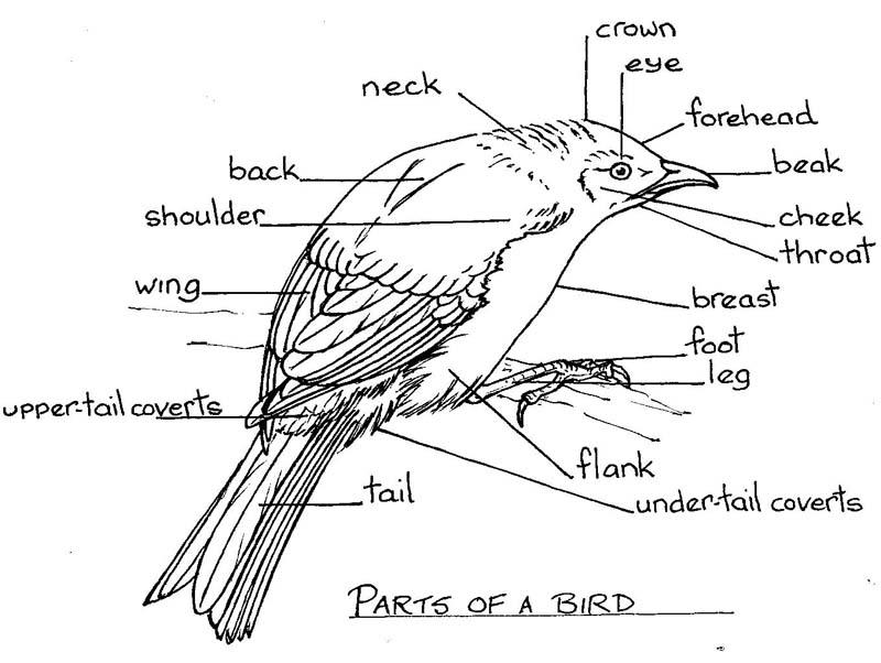 Simple Bird Diagram - DIY Enthusiasts Wiring Diagrams •