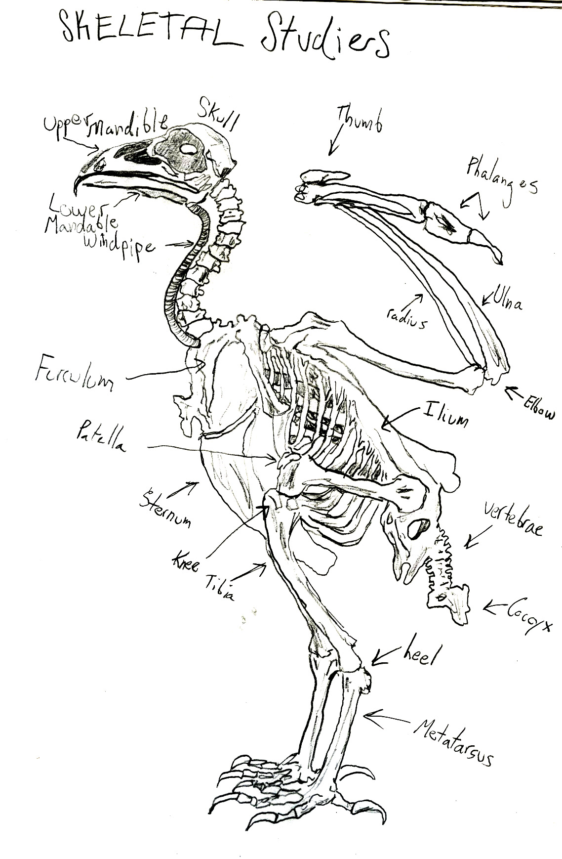 Bird Foot Anatomy Image collections - human body anatomy