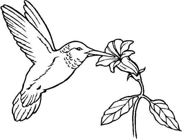 600x460 Humming Bird Eat From Flower Coloring Page Color Luna