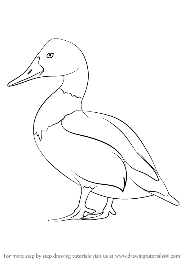 597x844 Learn How To Draw Canvasback (Birds) Step By Step Drawing Tutorials
