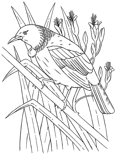 493x652 new zealand tui bird coloring picture