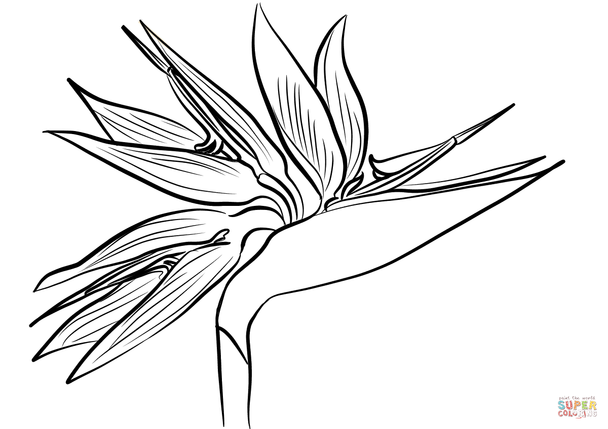 Birds Of Paradise Flower Drawing At Getdrawings Free For