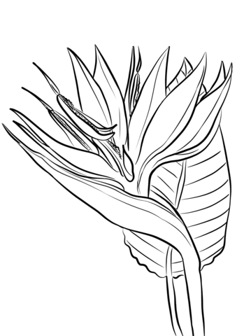 Birds Of Paradise Flower Drawing