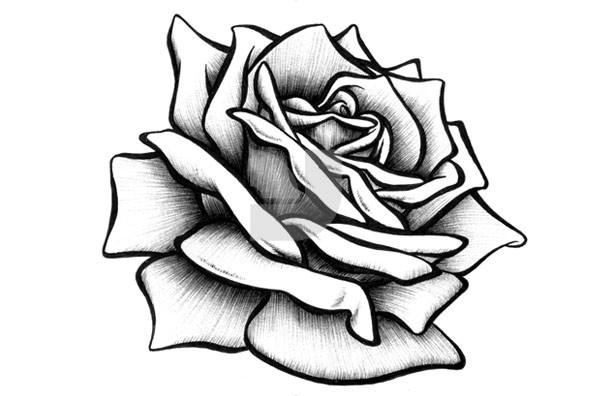 592x396 Drawn Rose