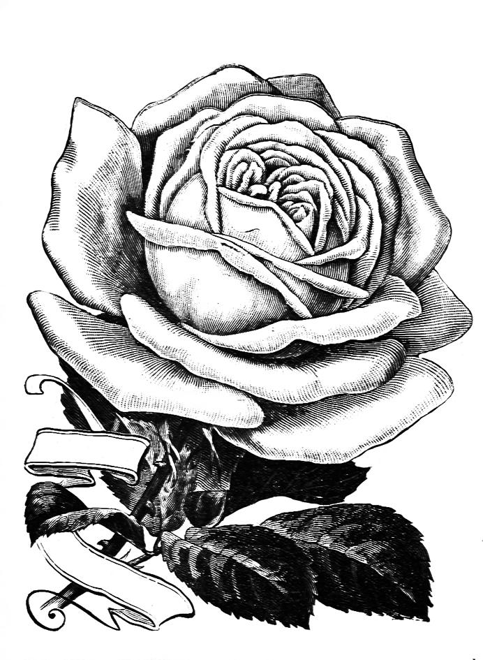 692x945 Rose Clipart