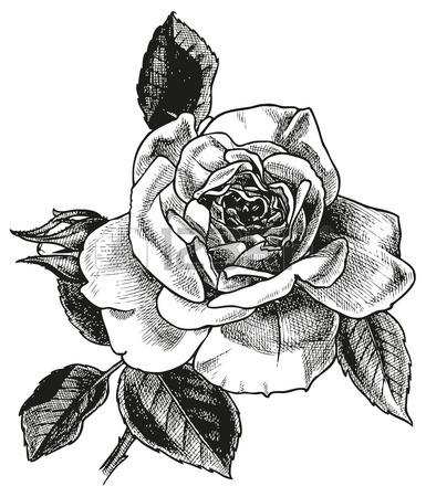 385x450 Rose Flower Flora Vector Drawing Black Sketch Image Leaves