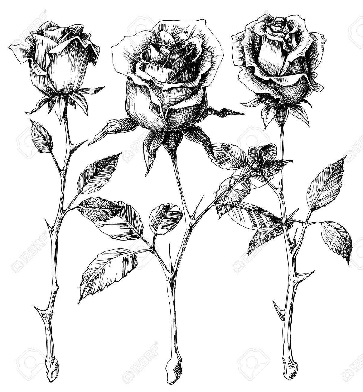 1205x1300 Single Roses Drawing Set Royalty Free Cliparts, Vectors, And Stock