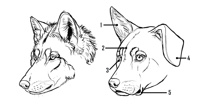 700x355 How To Draw A Dog Details Make The Difference