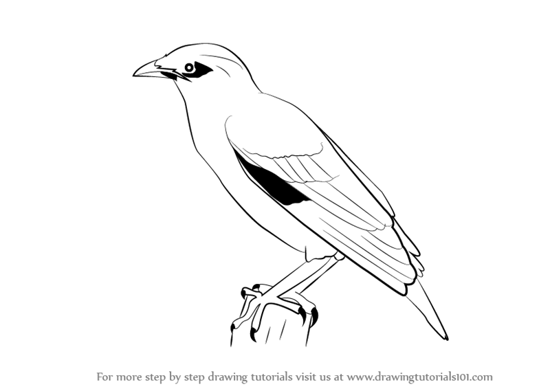 800x566 Learn How To Draw A Myna (Birds) Step By Step Drawing Tutorials