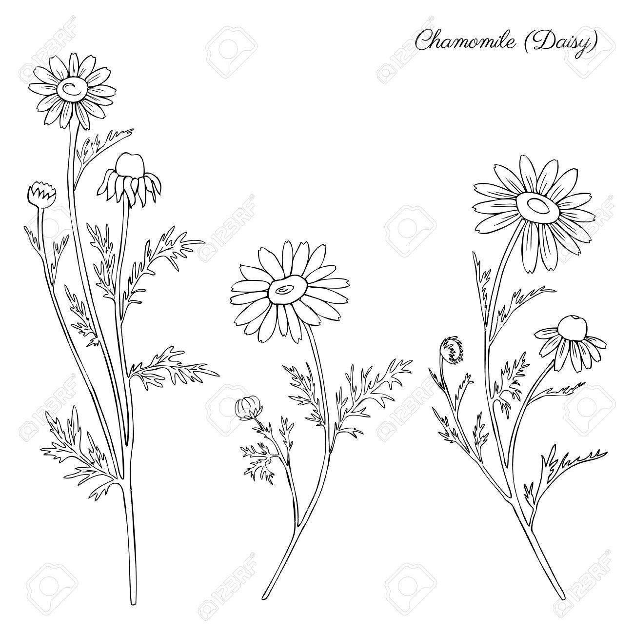 1300x1300 Chamomile Wild Field Flower Isolated On White Background Botanical