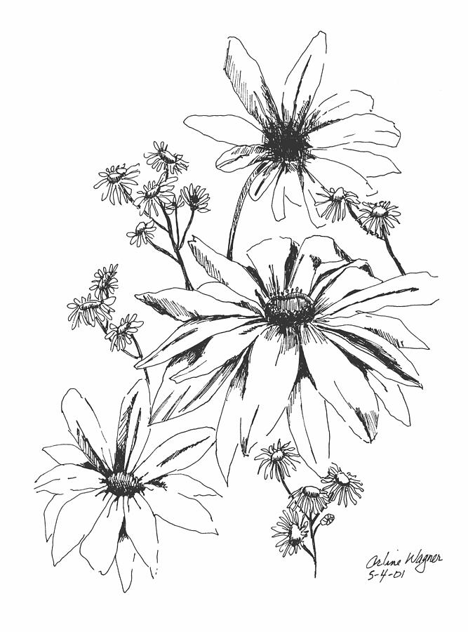 667x900 Daisies Sketch Drawing By Arline Wagner