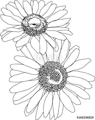 394x500 Two Daisies Line Art. Botanical Sketchbook Flower Drawing. No