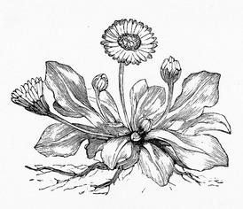 274x236 Dandelion Drawing